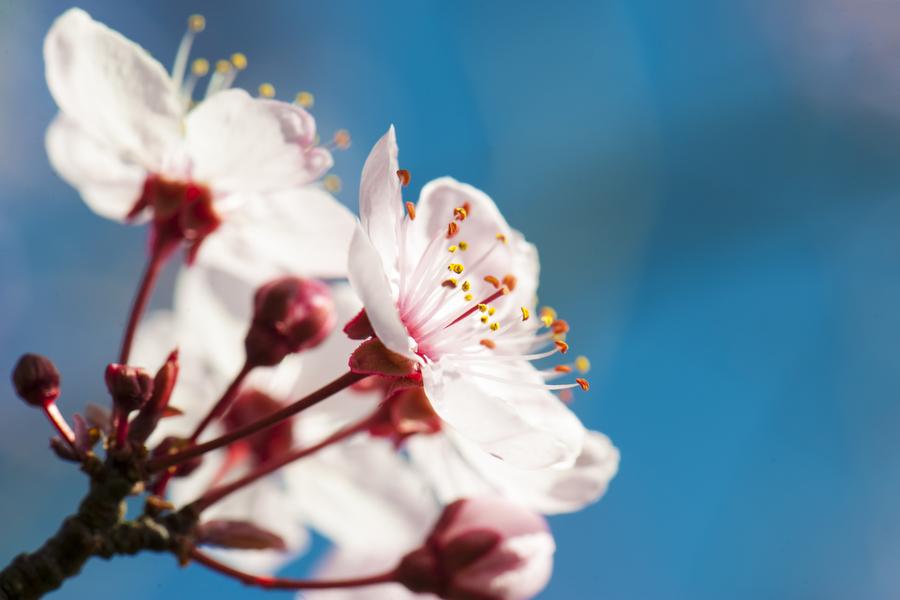cherry-blossom-03