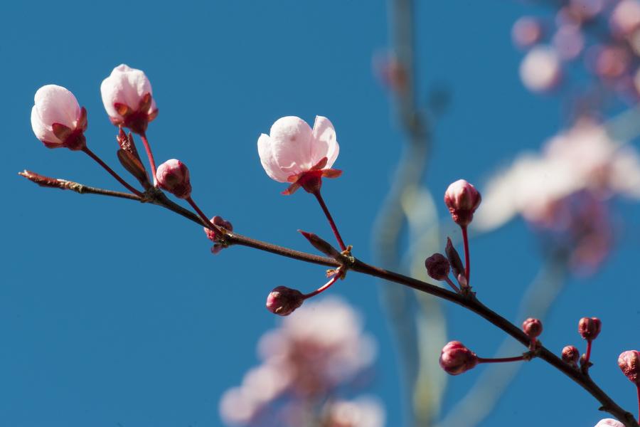 cherry-blossom-04