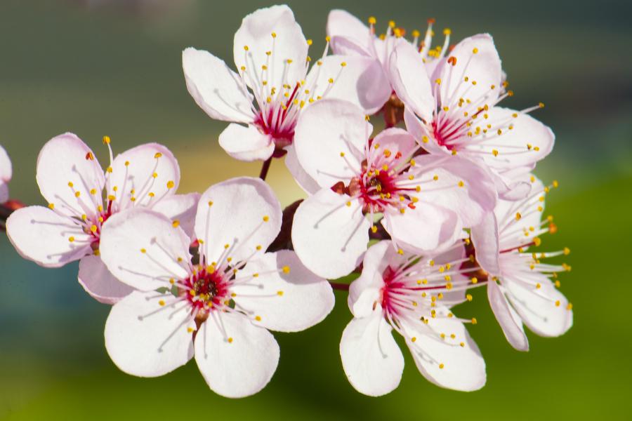 cherry-blossom-06