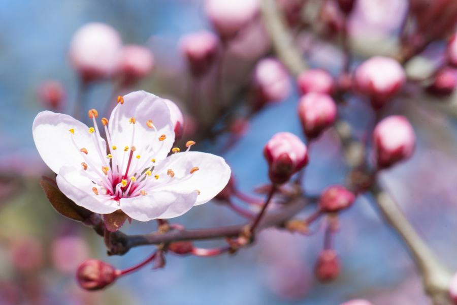cherry-blossom-07