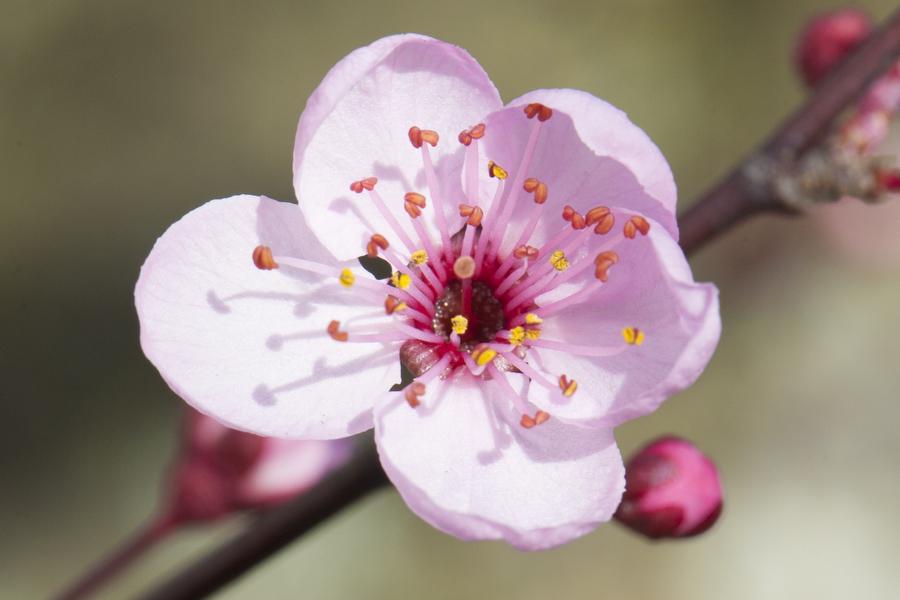 cherry-blossom-08