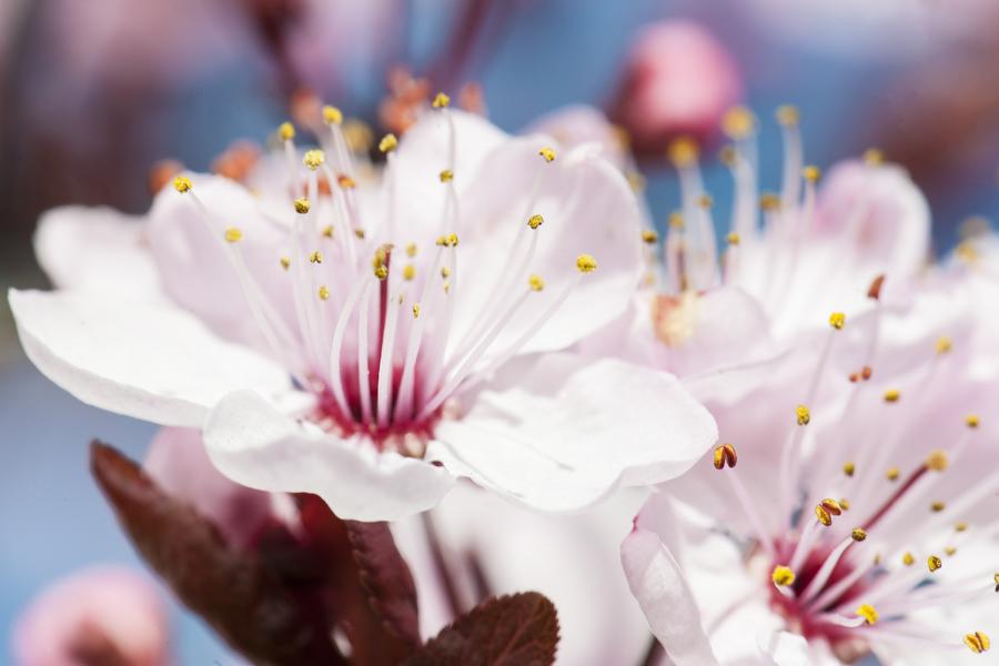 cherry-blossom-09