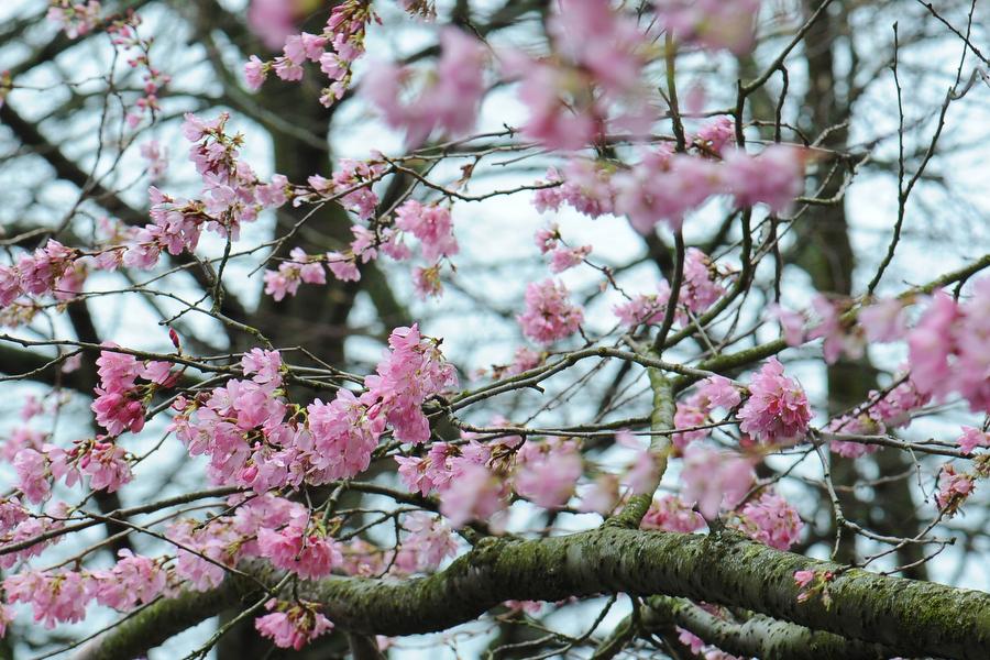 cherry-blossom-10