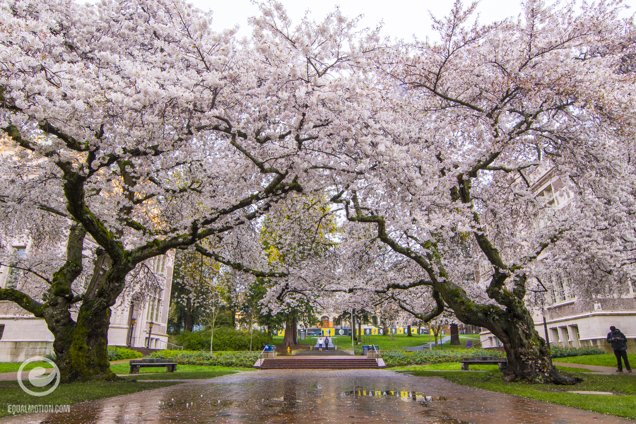 Spring colors on display at the University of Washington in Seattle at the famous Quad and its Cherry Trees on the UW campus.