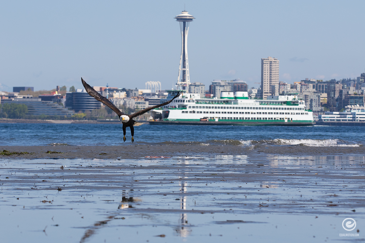 west-seattle-eagle-01a