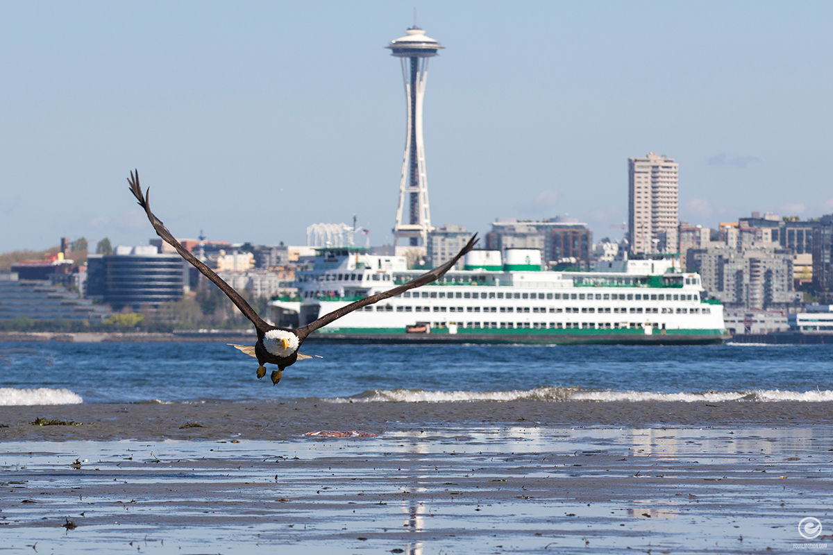 west-seattle-eagle-02