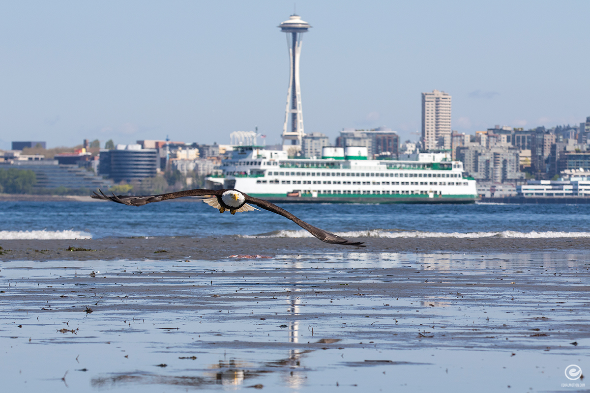 west-seattle-eagle-03