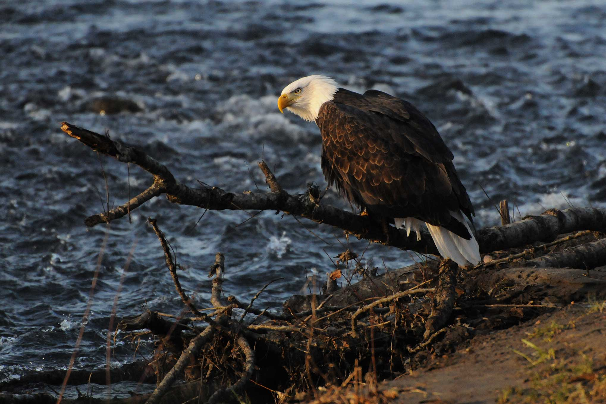 eagle-original